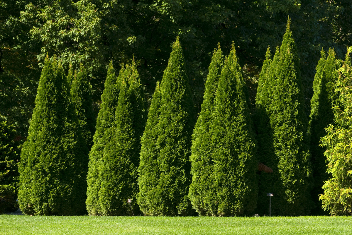 Thuja occidentalis, like this lovely cultivar 'Smaragd' at NYBG, may not be a good choice if you have deer in your garden; photo by Ivo Vermeulen