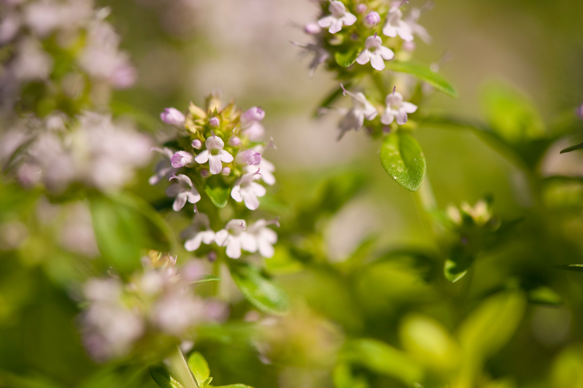 Thyme is a perennial herb; photo by Ivo Vermeulen