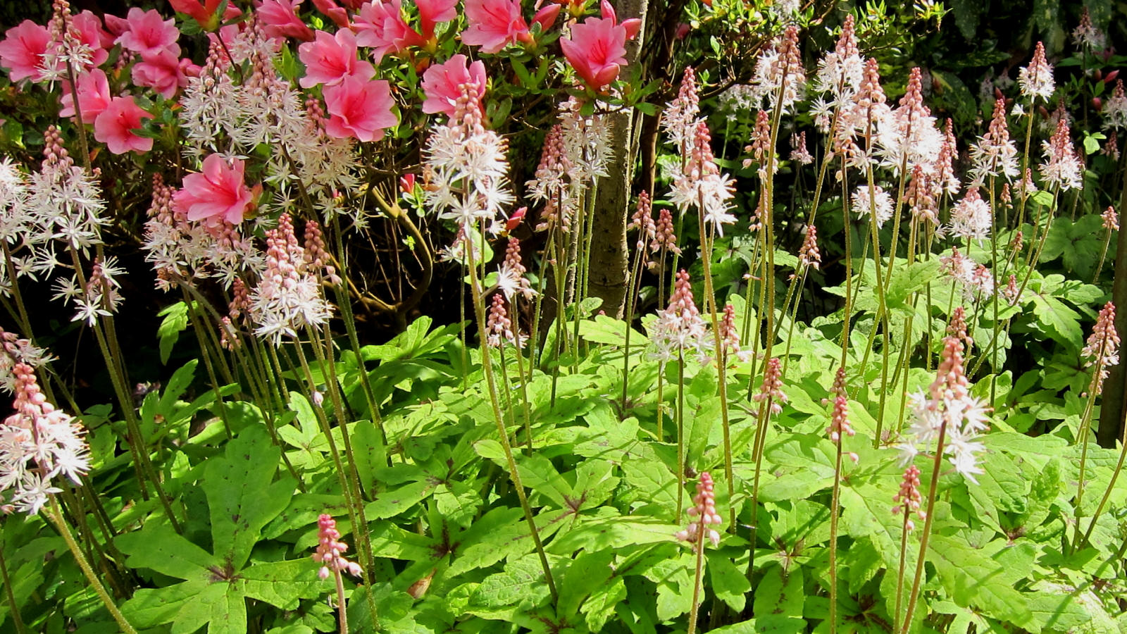 Photo of Tiarella 'Spring Symphony' with Azalea 'Kirin' courtesy of Flickr cc/Cultivar413