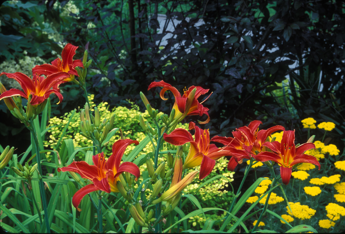 Divide daylilies after flowering