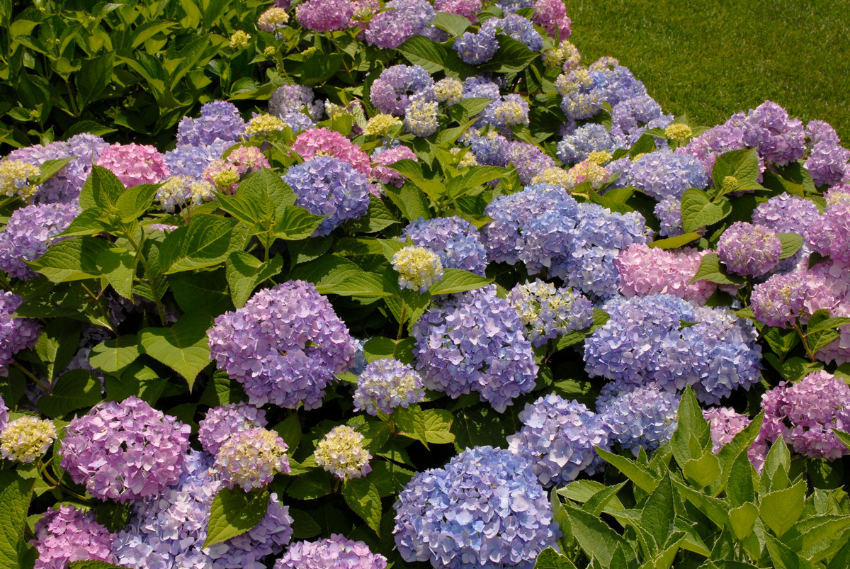 Hydrangea macrophylla 'Endless Summer' is a new ever-blooming variety