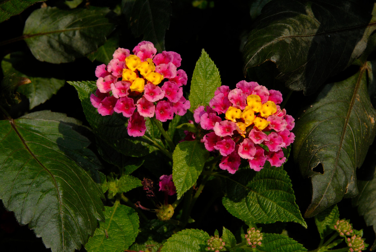 Lantana camara 'Bandana Cherry'; photo by Ivo Vermeulen