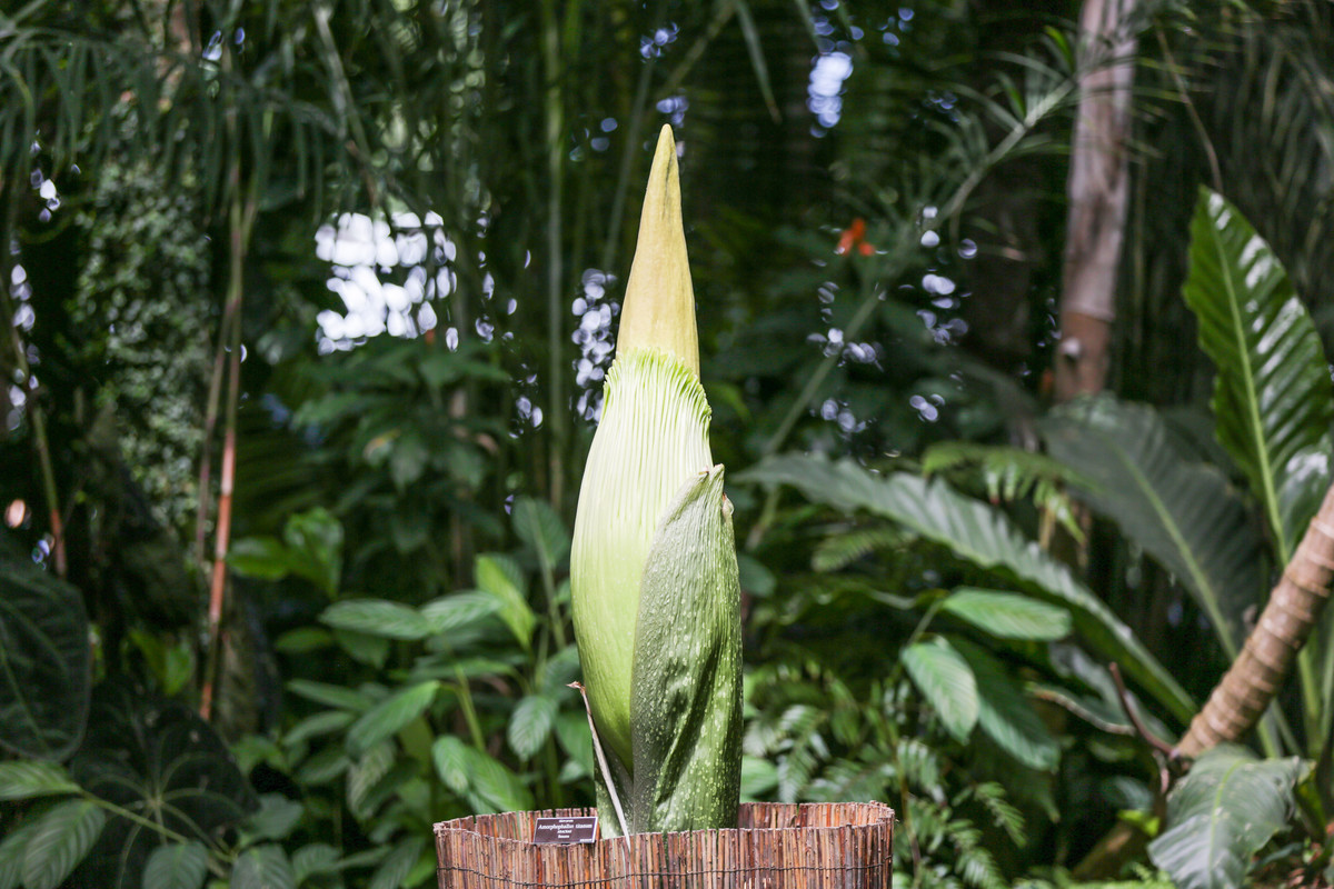 Amorphophallus titanum begins to bloom at NYBG