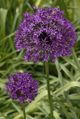 Allium hollandicum Purple Sensation; photo by Ivo Vermeulen