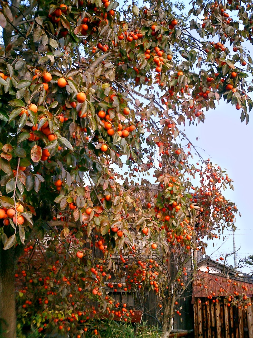 Persimmon Tree loaded with fruit