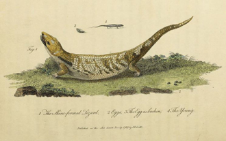 Illustration of blue-tongued skink from White (1790)