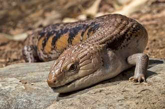 Blue-tongued skink resting on rock at San Diego Zoo