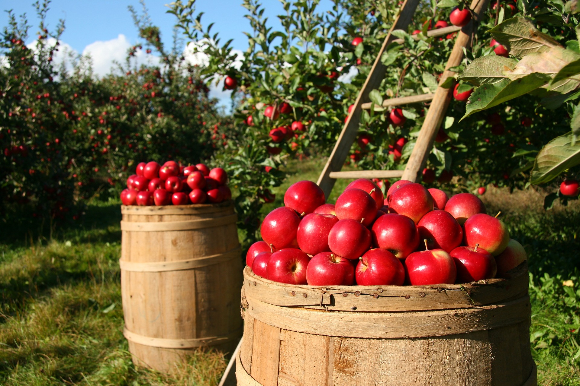 A beautiful apple orchard