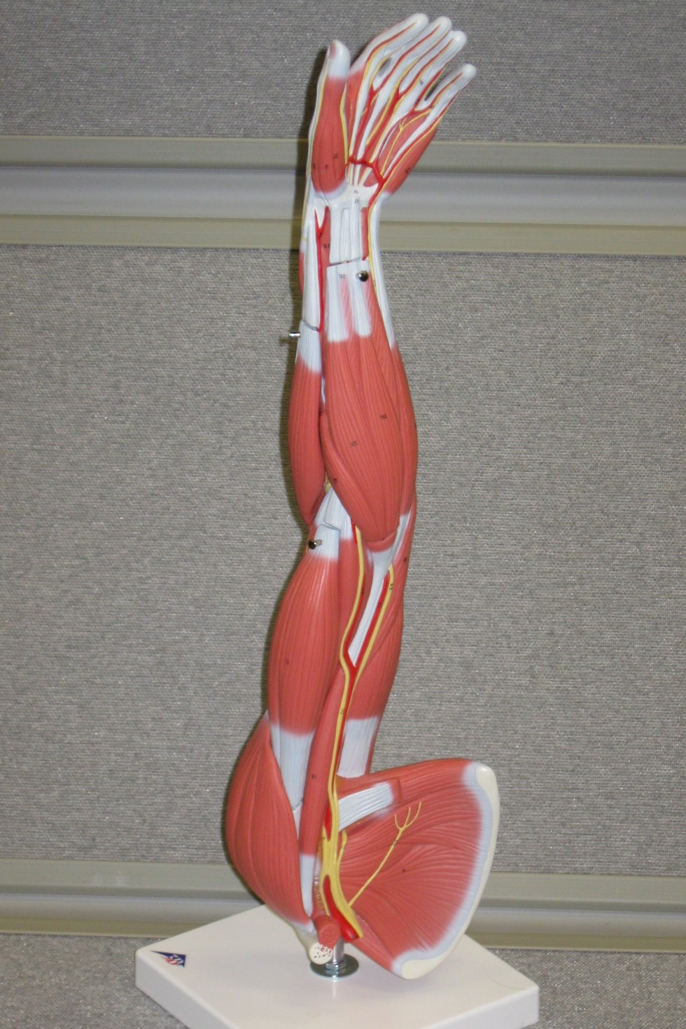 model of a muscled arm