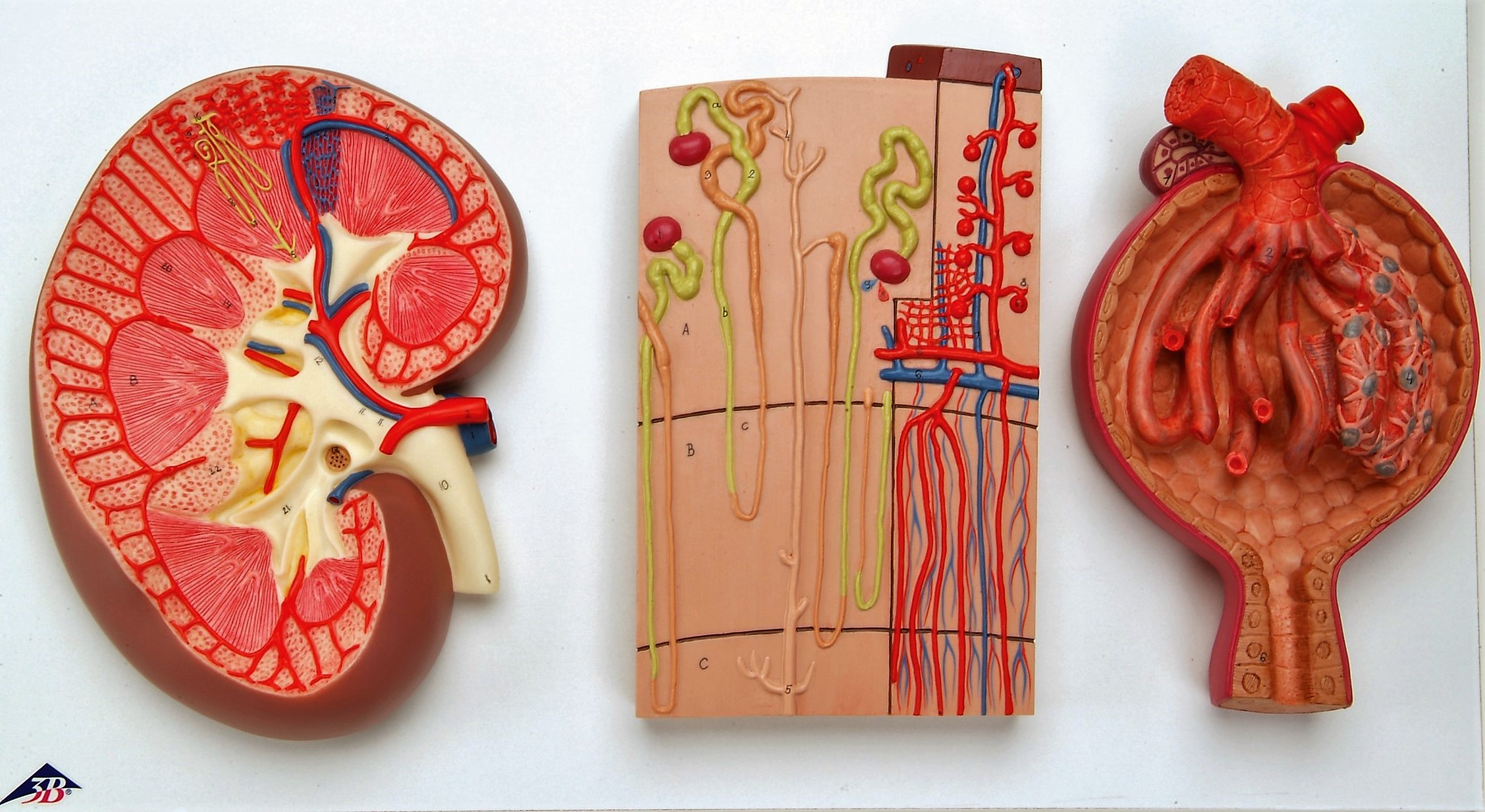 model of the Kidney Section, Nephrons, Blood Vessels and Renal Corpuscle