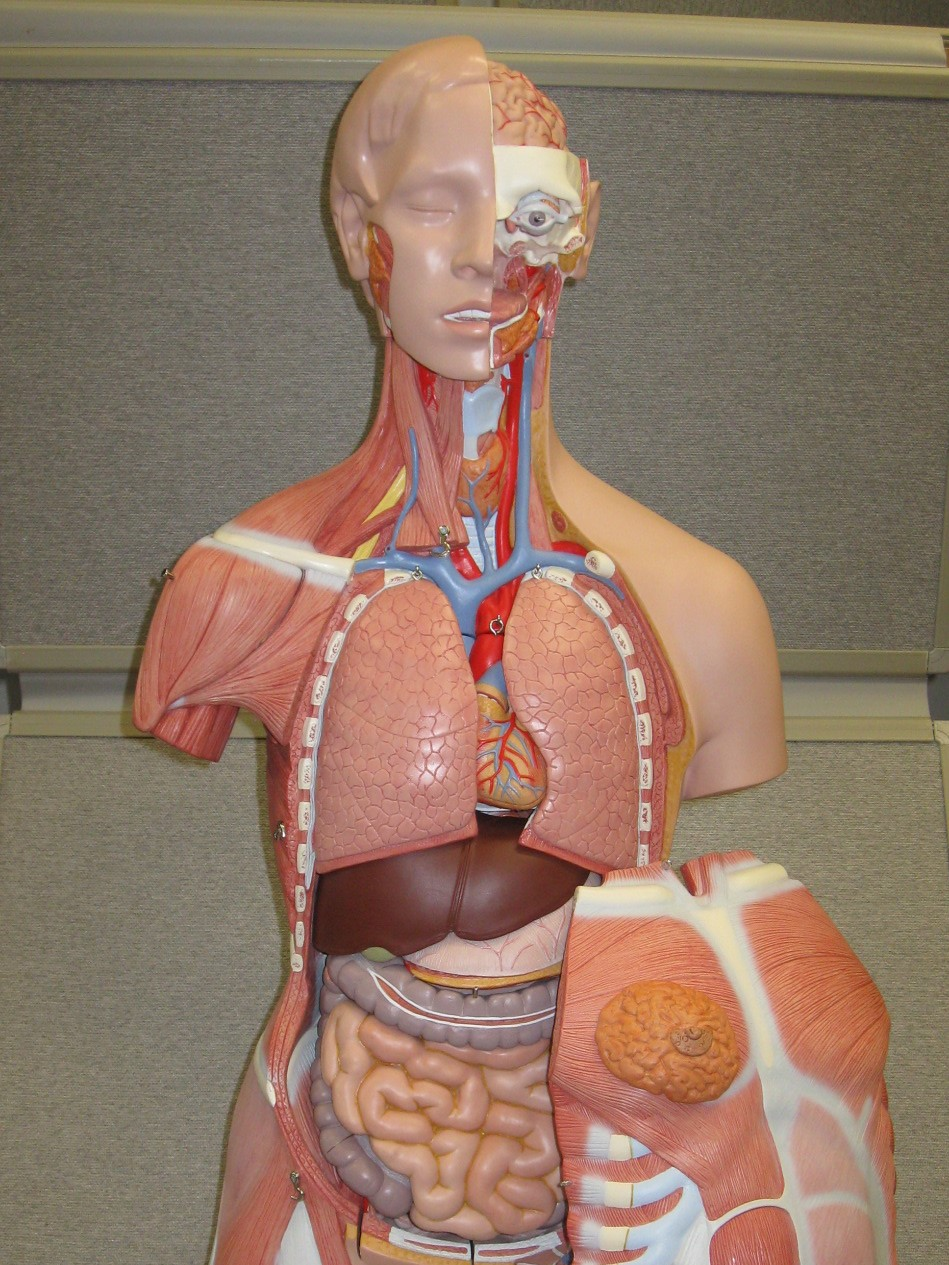 picture of the full torso model