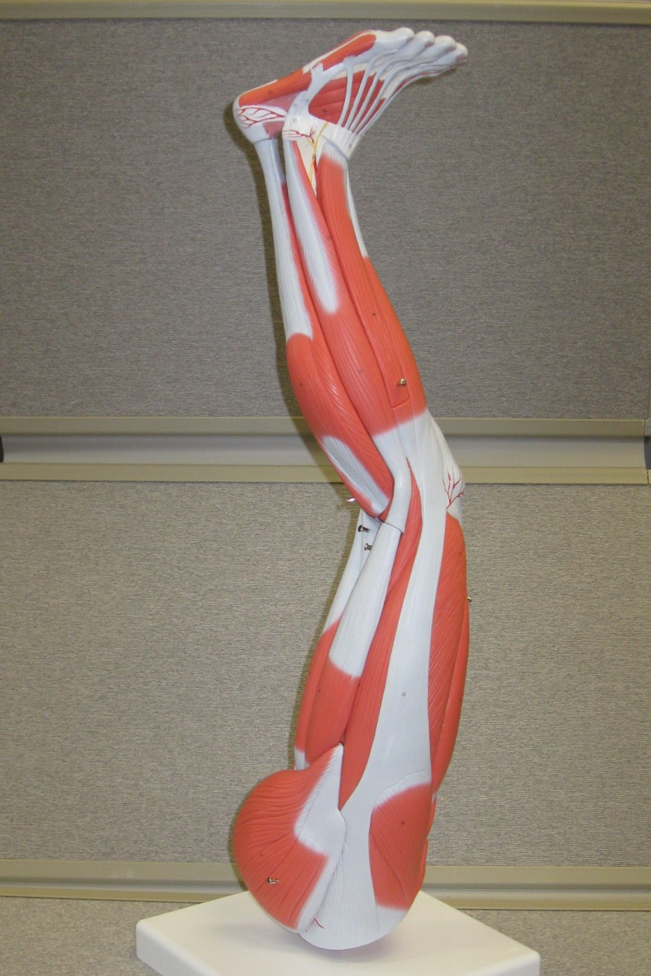 muscled model of the leg