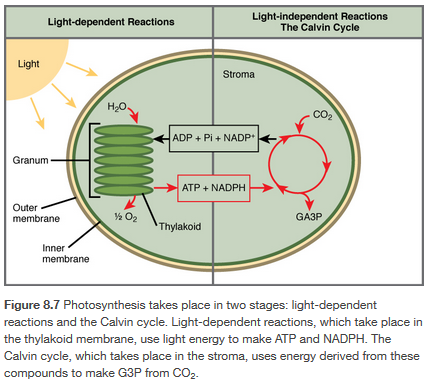 2 parts photosynthesis