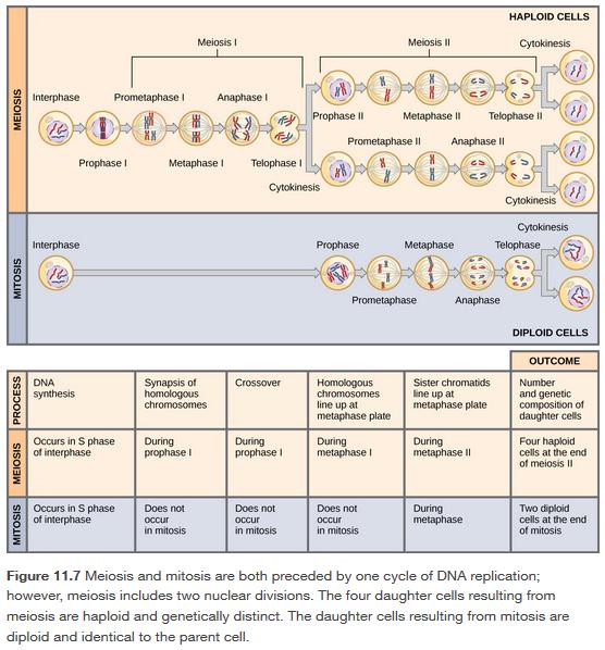 Comparing Meiosis Mitosis