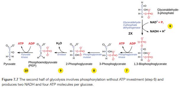 Glycolysis Part 2