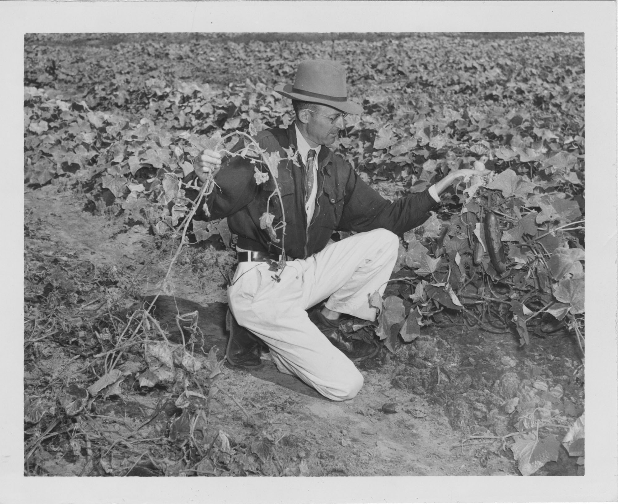 Black and white photograph of a man in a cucumber field holding up vines and cucumbers