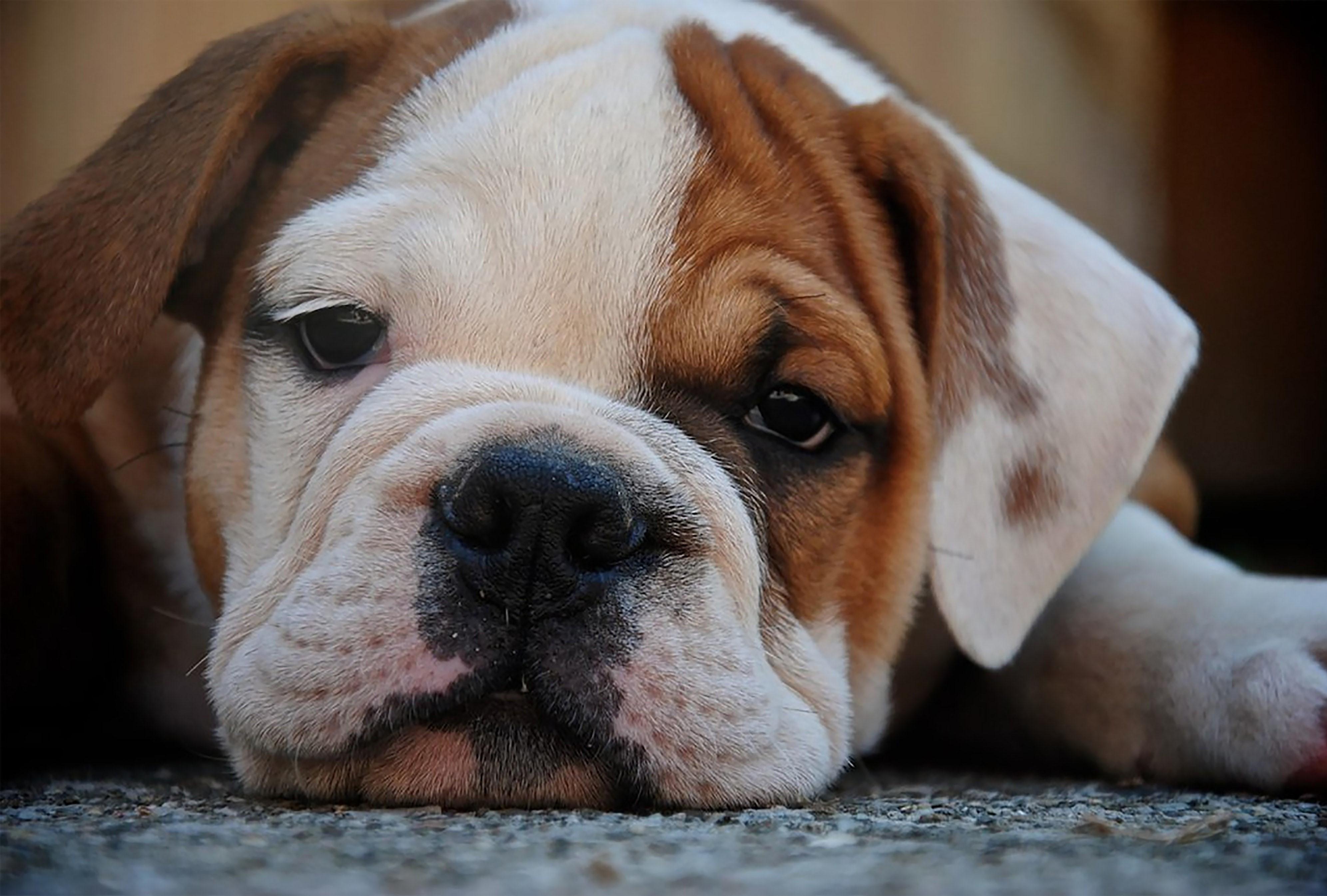 Photo of bulldog with chin on floor