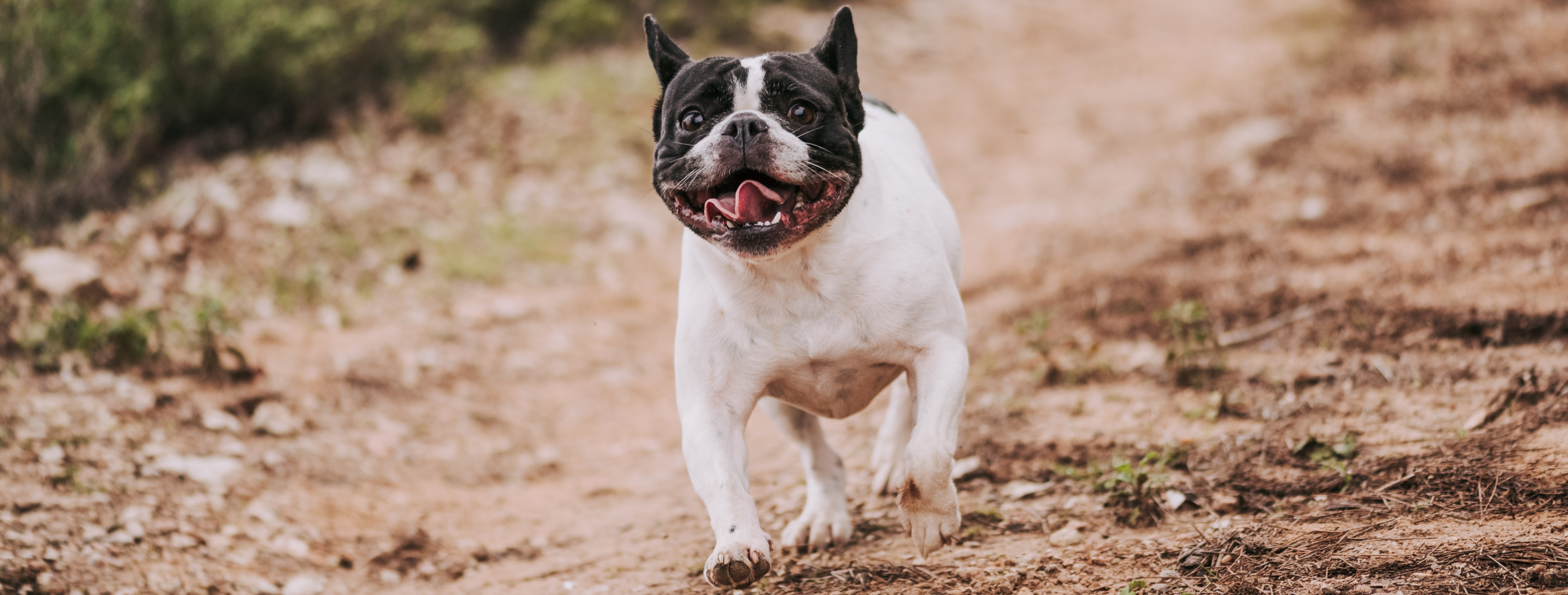 Photo of bulldog running on trail