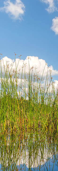 tall marsh grass in a pond with a blue sky and wispy clouds