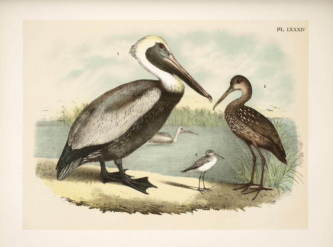 Brown Pelican, by Theodore Jasper