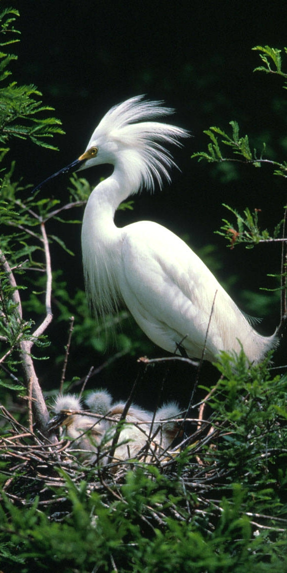Snowy egret (Ardea alba) with nest