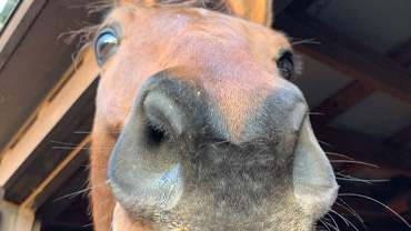 Closeup of a horse's face and nose