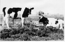 black and white image of cows