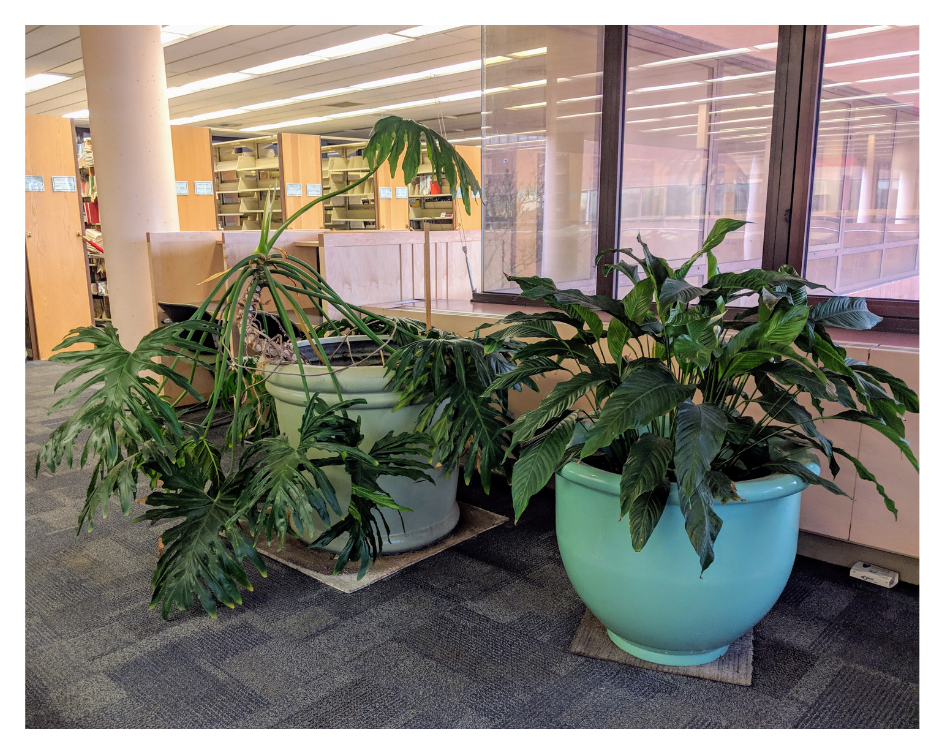philodendron and peace lily in library