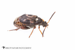 Image of a bean beetle, also known as a cowpea weevil.