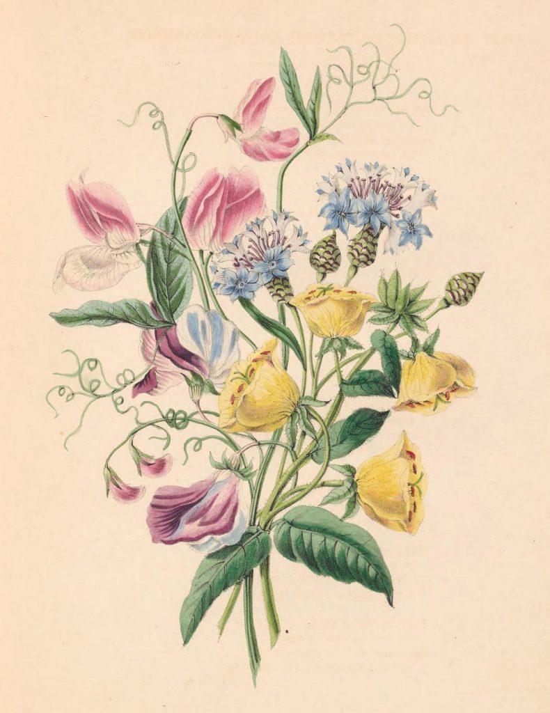 Sweet Pea, Bluebottle Centaury, and Evening Primrose.