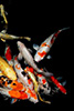 Black background with brightly colored koi fish