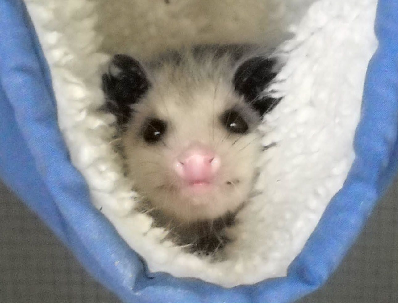 Opossum in a blanket.
