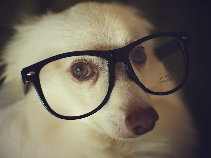 fluffy white dog wearing glasses