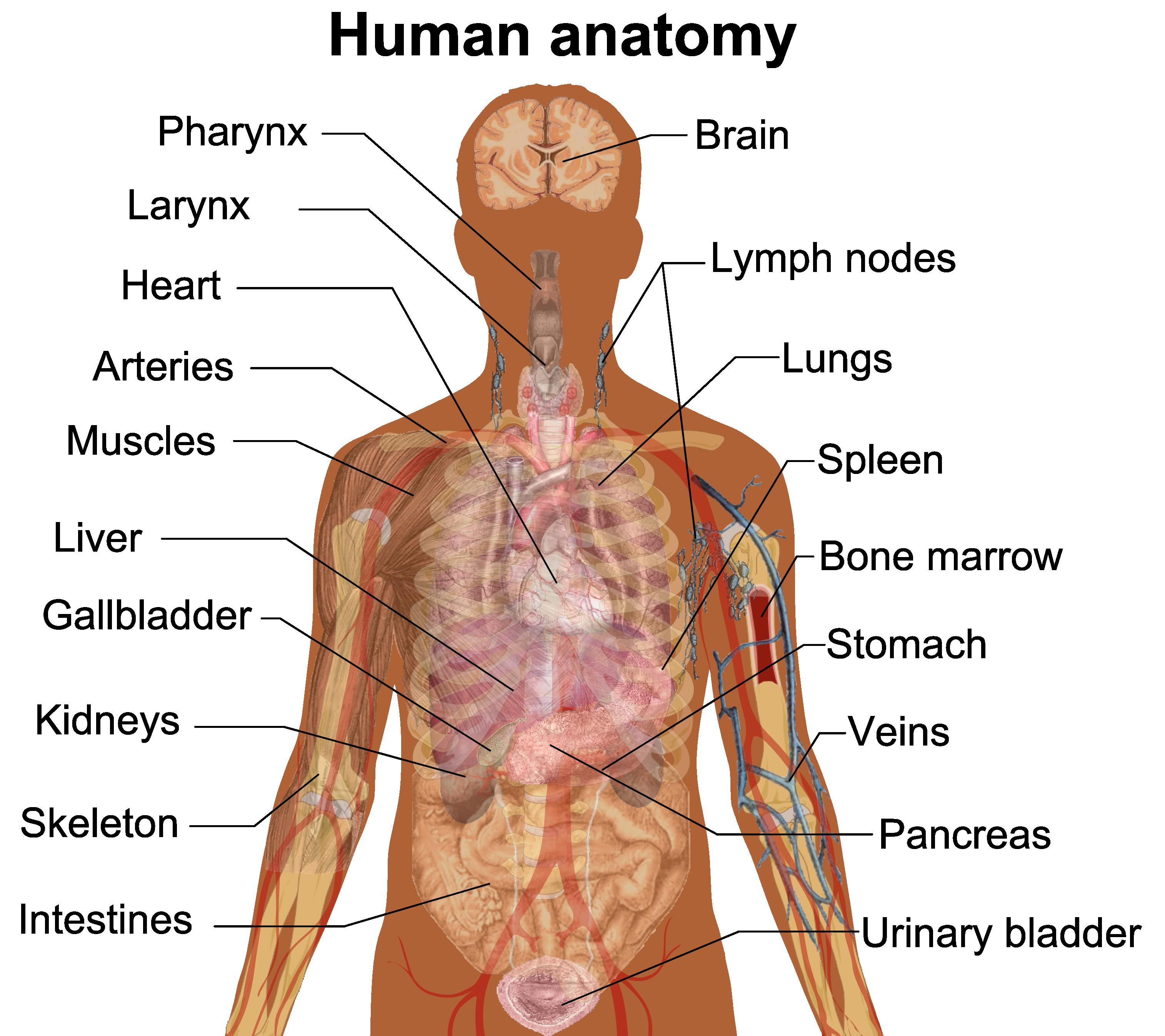 Human anatomy internal organs diagram