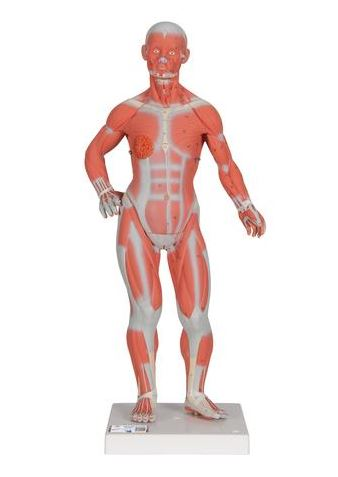 anatomy of a 1/3 size full body muscle model