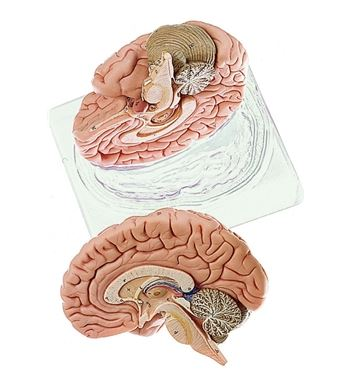anatomy model of the brain with nerves