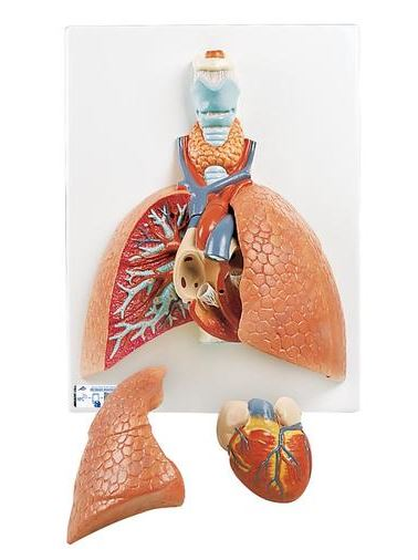anatomy model of the lungs