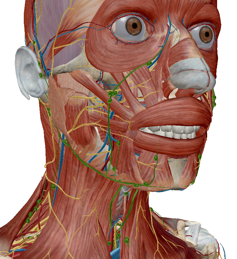 image of visible body anatomy model