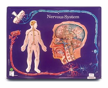 Nervous System (Hubbard)