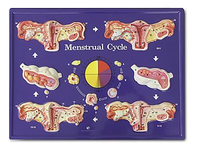 Menstrual Model (Hubbard)