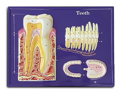 Teeth (Hubbard)