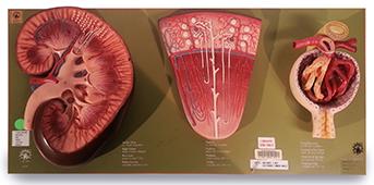 Kidney, Nephron, And Glomerulus