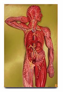 Lymphatic System Model (Lymphatic Larry)