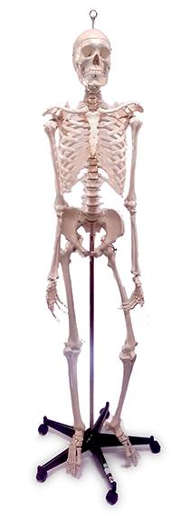 Male Skeleton, Sacral Mount