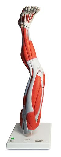 Muscular Leg