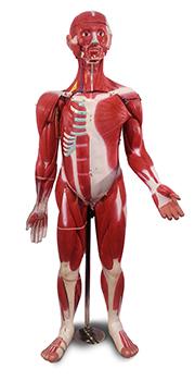 Muscular Figure (30 Parts)