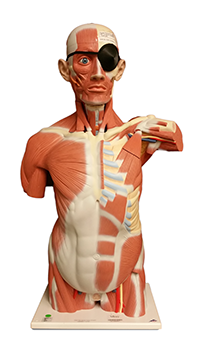 Human Torso With Back Musculature