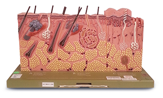 Section Of Skin