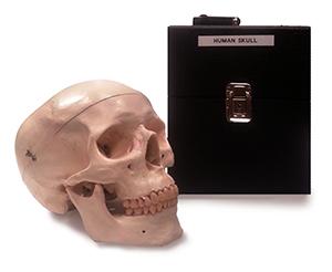 Skull (Natural Bone)