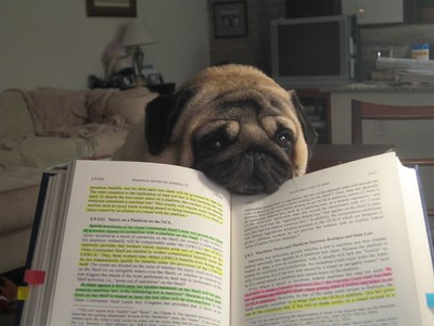 pug dog with face laying on law book